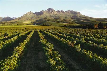 vines-south-africa.jpg
